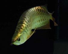 深度讲解金龙鱼饲养方法