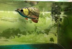 金龙和什么鱼混养最好