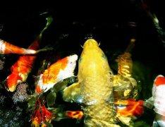 锦鲤鱼身上发黑怎么办如