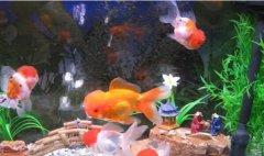 金鱼的寿命有多长怎么养比较
