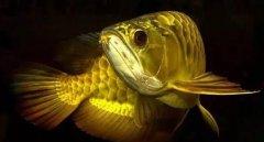 金龙鱼如何养比较好八个实用