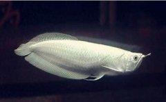 银龙鱼一天喂几次长得好