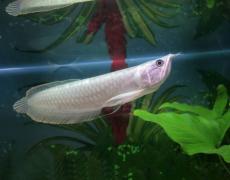 银龙鱼吃什么长得最快这里最详细