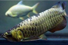 金龙鱼配鱼七中选择