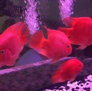 鹦鹉鱼躺在缸底怎么办?