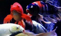 锦鲤鱼怎么喂食