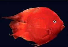 怎样养好鹦鹉鱼十个方法详解
