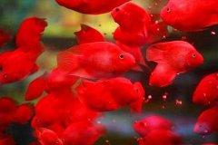 鹦鹉鱼不红什么原因怎么养变
