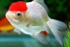 鹤顶红色金鱼养几条?