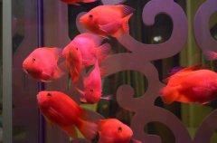 养鹦鹉鱼水温多少合适?