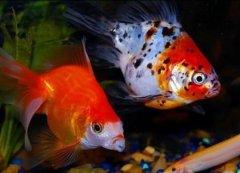 观赏鱼中金鱼凸眼症怎么治疗