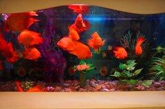 红鹦鹉鱼不吃食原因解绝析方法?