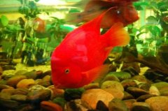 观赏鱼中养鹦鹉鱼水温多
