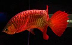 中国最贵红龙鱼7000万这么贵吗