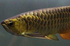 观赏鱼金龙鱼图片欣赏二