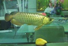 B过金龙鱼价格一般多少钱一尾?
