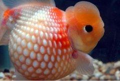 珍珠金鱼吃什么怎么养?