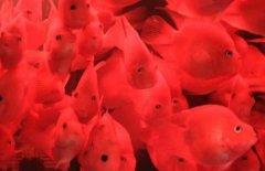 鹦鹉鱼家中几条最吉利