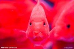 怎样解决鹦鹉鱼不吃食?