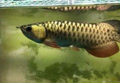 金龙鱼怎么养有什么好处?