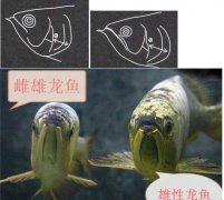 金龙鱼雌雄区别有什么技巧?
