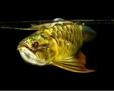 龙鱼鉴别方法有哪些技巧?
