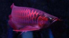 惊爆!血红金龙鱼1000万红真相?
