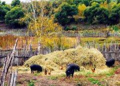 农村养殖养猪有什么补贴?(养猪获得养殖补贴找哪个部