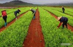 [高利润药材种植]种植哪些药材亩利润三十万